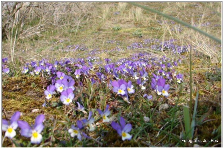 Voorjaar in de duinen bij de  Schaapskooi Bergen op zondag 14 april