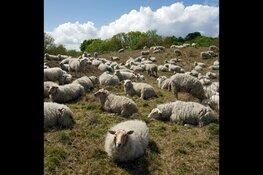 Dauwtrappen en ontbijten tussen de schapen